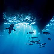 A Caribbean reef shark (Carcharhinus perezi) and a school of horse eye jacks (Caranx latus) under a catamaran boat in The Bahamas.