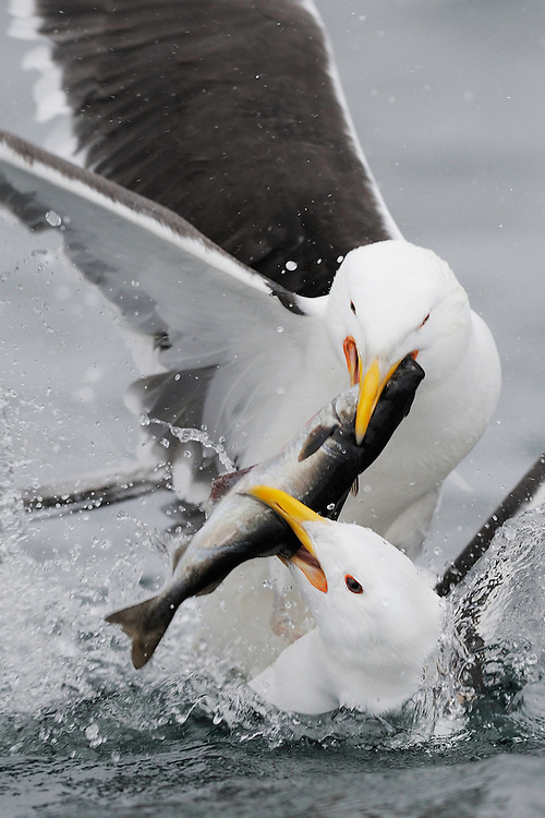 Two adult Great black-backed gulls, Larus marinus, are fighting about a Coalfish, Pollachius virens,  Flatanger, Nord-Trøndelag, Norway. The fish is a part of fishing bycatch and thrown to the birds that follow the boat.