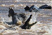 A crocodile (Crocodylinae) swimming toward a herd of zebra (Equus quagga) crossing a river during Kenya's great migration, Masai Mara, Kenya