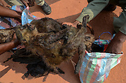 Bushmeat inspection & monkey<br /> Yengo Eco Guard control point<br /> Odzala - Kokoua National Park<br /> Republic of Congo (Congo - Brazzaville)<br /> AFRICA
