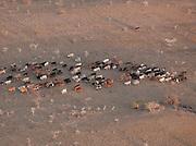 Aerial view grazing cattle, Chyulu Hills National Park, Kenya