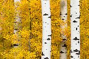 Aspens in Montana