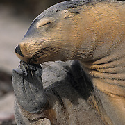 Australian Sea Lion (Neophoca cinerea) at the Seal Bay Conservation Park at Kangaroo Island, Australia.
