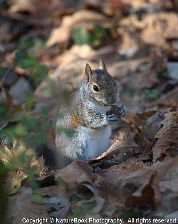 Squirrel emerges from a blanket of leaves in late fall to enjoy a treat at Radnor Lake State Natural Area, just south of Nashville, Tennessee.