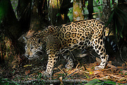 Female Jaguar walking. Rescued(captive) and kept in a fenced off part of the natural jungle.