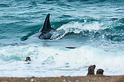 """STUNNING IMAGES CAPTURE ORCAS AS THEY DRIVE UP ON TO BEACH TO HUNT FOR SEA LION'S<br /> <br />  The hunts were taken at Valdés peninsula, Punta Norte. There are some beaches at Valdés, where very few orca whales are adapted to """"voluntary beaching"""" to get close enough to young sea lions, which play in the shallows. This is a dangerous undertaking for the whales, too. If they can't get back to deeper water they might die. Two incidents of a whale being saved by people occurred here. They spilled water over them while they were stuck, not to have them drying out. Next hightide freed them. At any given time there were less than 10 individuals capable of performing this art of hunting! Presently, this number might be a little higher. Voluntary beaching was recorded first in the seventies last century in that area. It is most probably the only area, where whales learned this technique. There are only few scattered records of this behavior from one place in the Indian Ocean, but that is not scientifically confirmed. So this is a very rare behavior in whales and it is a good example of the intelligent way these animals react to their environment.<br /> <br /> PHOTO SHOWS:  The approach. Orcas try to stay as low as the water permits, when approaching a colony with playing pubs. They accelerate rapidly and move astonishingly fast in the shallow water.<br /> ©Reinhard Radke Nature Photography/Exclusivpeix Media"""
