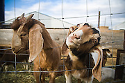 Curious goats poke their heads through a fence at Windsor Dairy in Windsor, Colorado. The dairy producer supplies their shareholders with raw milk and other dairy products, grass-fed meat and true free-range chicken eggs.