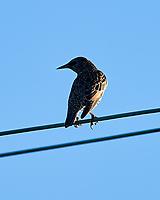 European Starling (Sturnus vulgaris). Fort De Soto Park. Pinellas County, Florida. Image taken with a Nikon D4 camera and 500 mm f/4 VR lens.