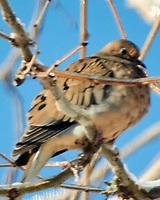 Mourning Dove (Zenaida macroura). Image taken with a Nikon N1V3 camera and 70-300 mm VR lens.