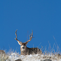 Antlers mule deer buck in his prime carries antlers beat up from a fall filled with testarone-charged skirmishes.
