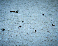 Ring-necked Duck. Rocky Mountain National Park. Image taken with a Nikon D300  camera and 80-400 mm VR lens