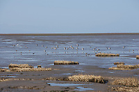 Grannys Bay new RSPB reserve on the Ribble mudflats at Lytham, Lancashire Dunlin flock