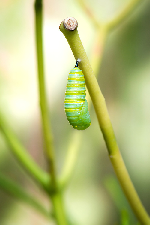 At this stage, the new chrysalis is soft and vulnerable to predators.