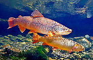 Brown Trout (with Snake River Fine Spotted Cutthroat Trout)<br /> <br /> Patrick Clayton/Engbretson Underwater Photography