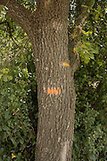 Markings on a tree indicating direction on a rambling path