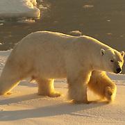 A male Polar Bear wanders the edge of Hudson Bay at Cape Churchill near Churchill, Manitoba, Canada.