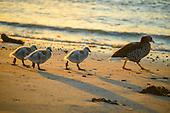 Falkland Islands birds