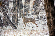 Large whitetail buck in snow storm