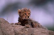 Cheetah cub portrait (Acinonyx jubatus) Botswana
