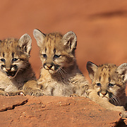 Mountain Lion or Cougar (Felis concolor) cubs in the canyonlands of southern Utah.   Captive Animal