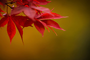 Deep red autumnal leaves