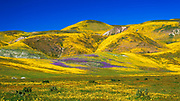 Wildflowers in the Temblor Range, Carrizo Plain National Monument, California USA