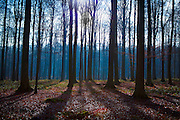 """The Sonian Forest, Foret de Soignes, or Zoniënwoud, an 11,000 hectare woodland to the southeast of Brussels, providing a """"green lung"""" for the polluted, traffic choked city. The forest is currently in three jurisdictions, Brussels, Flanders and Wallonia, but EU involvement in 2013 will see development of plans to re-unify the forest, for the benefit of humans and wildlife. This mage can be licensed via Millennium Images. Contact me for more details, or email mail@milim.com For prints, contact me, or click """"add to cart"""" to some standard print options."""