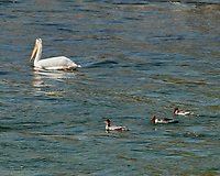 American White Pelican, Common Merganser. Jackson Lake Dam. Grand Teton National Park, Wyoming. Image taken with a Nikon D200 camera and 80-400 mm VR lens.