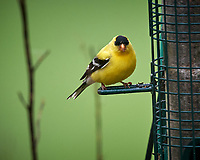 American Goldfinch. Image taken with a Nikon D5 camera and 600 mm f/4 VR telephoto lens (ISO 1600, 600 mm, f/5.6, 1/320 sec).