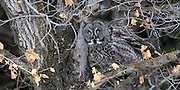 A Great Gray Owl hangs out in a tree in Lindley Park near the Bozeman public library.