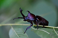 Japanese Rhinoceros beetle, Allomyrina dichotoma dichotoma, Guangshui, Hubei province, China.  In Chinese the beetle is called '獨角仙' (which translates to 'single-horned immortal') or '雙叉犀金龜' Japanese rhinoceros beetles are a very popular subject in gambling, like Siamese fighting fish and cricket fights. In the most popular game, two different male beetles are placed on a log.[2] They will battle each other, trying to push each other off the log, the one to stay on the log is the winner. This is a huge source and loss of money to many people, especially in the Ryukyu Islands.  By means of their forked horn they lift other males off the ground and throw them into the air.