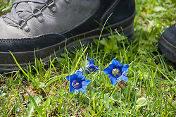 Gentian and hiking shoe, close-up