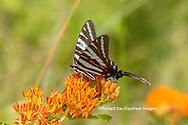 03006-00612 Zebra Swallowtail (Protographium marcellus) on Butterfly Milkweed (Asclepias tuberosa) Marion Co. IL