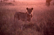 African wildlife, young female lion, in Maasai Mara, Kenya, in early morning light in grasslands.