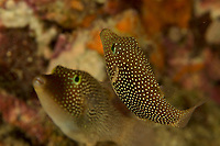 Spotted Sharpnose Puffer (Canthigaster punctatissima)<br /><br />Canales de Afuera Islands<br />Coiba National Park<br />Panama