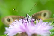 Large Wall Brown Butterfly, Lasiommata maera, Zarnesti Gorge, Transylvania, Romania, head view showing eyes and antennae