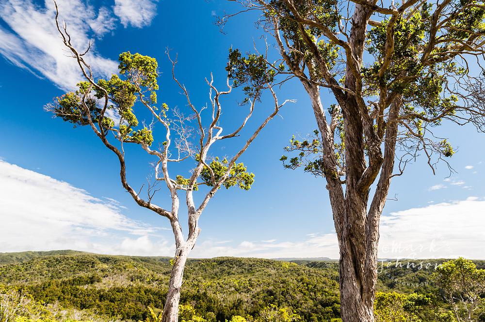 Ohia Lehua trees growing in the rain forest, Koke'e, Kauai, Hawaii