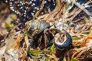 Hermit Crab Combat at the South Cove, Cape Arago, Oregon.