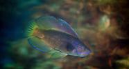 Male Odax cyanoallix (Blue-Finned Butterfish)