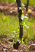Young vines in the vineyard on the typical sandy pepply (galets) soil in Crozes Hermitage. Detail of the base of the vine with young shoots (pampres) that have to be removed often by hand. Some shoots come from the lower rootstock part of the vine. (part or a set of images showing vines with and without shoots)  Domaine du Colombier, Crozes-Hermitage, Mercurol, Drome Drôme, France Europe