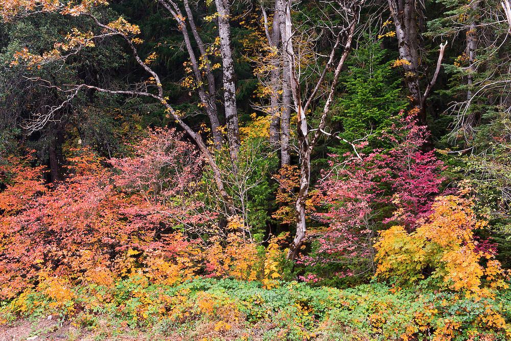 Autumn in the Forest Near Dunsmuir, California