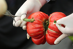 © Licensed to London News Pictures. 18/09/2015. Harrogate, UK. Picture shows DNA testing taking place on the winning Gigantomo tomato at the Giant Veg competition at the Harrogate Autumn Flower show. Photo credit: Andrew McCaren/LNP