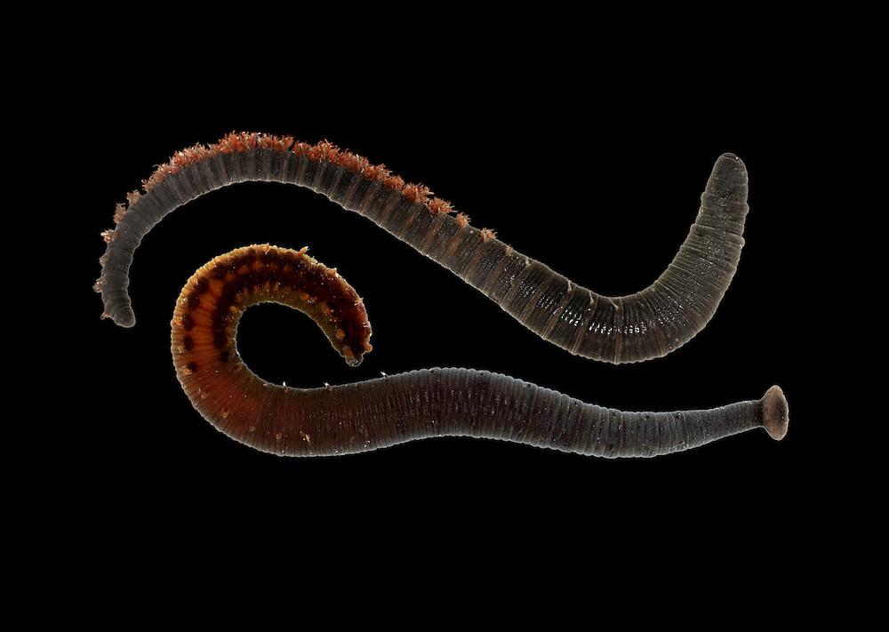 Arenicolides branchialis