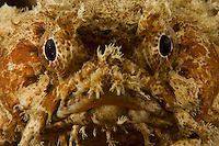 A close-up of a Banded Toadfish (Halophryne diemensis) observed on a night dive.  A rare species..Kri Island vicinity.