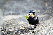Raven bird is seen collecting various leaf and flying back and forward to its nest built on the trees of the park by Front Street in Bamburgh on Wednesday, March 17, 2021. (Photo/ Vudi Xhymshiti)
