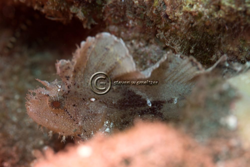 Leaf Scorpionfish, Taenianotus triacanthus, Lacepède, 1802, Maui Hawaii