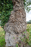 Detail of trunk bark, populus nigra, black poplar tree, native to Britain, Butley, Suffolk, England, UK