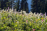 Western Anemone (Anemone occidentalis) seedheads and other wildflowers near Tipsoo Lake at Mount Rainier National Park in Washington State, USA