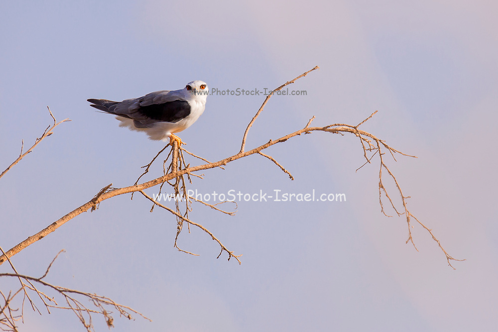 Black-winged Kite (Elanus caeruleus) on treetop with blue sky background. Also called the black-shouldered kite, this bird-of-prey is found in sub-Saharan Africa and tropical Asia. Photographed in Ein Afek Nature Reserve, Israel in summer, August