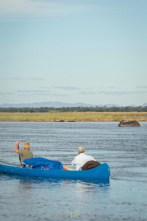 People in canoe and one hippopotamus in background, Zambezi River, Zambia